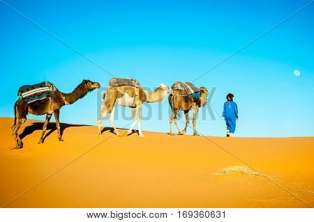 Camel caravan moving in Sahara desert in morning. Morocco Sahara desert
