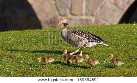 Goose with five goslings on green grass (Anser anser )