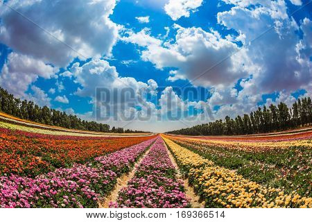 Garden buttercups bloom in bright colors. Walk on a sunny day. Colorful field, planted with flowers. The concept of eco-tourism