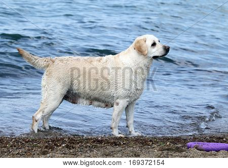 A Cute Yellow Labrador By The Sea With A Toy