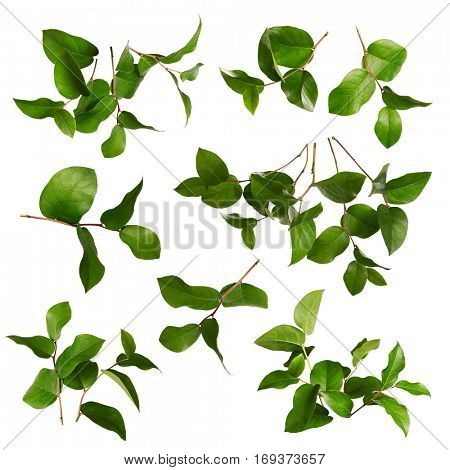 Collection of green leaves on a white background