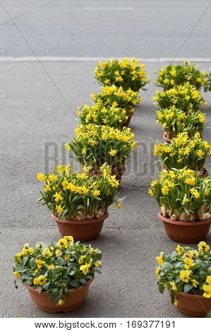 Rows of flower pots full of daffodils on the street. Eater flowers. Spring symbols
