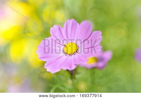 Cosmos flowers in the garden , Cosmos
