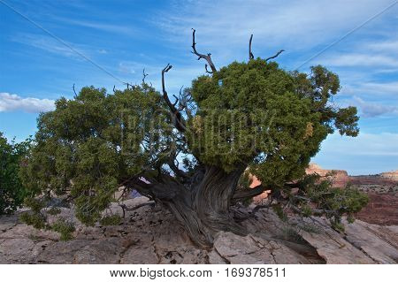 Juniper trees in Canyonlands National Park, Utah