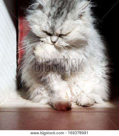 Grey domestic pussy cat, cat in blur light background, cute funny kitten close up, domestic animal. Long hair grey cat