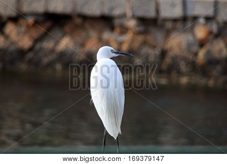 White Egret On The Lake Shore In Xiamen, China