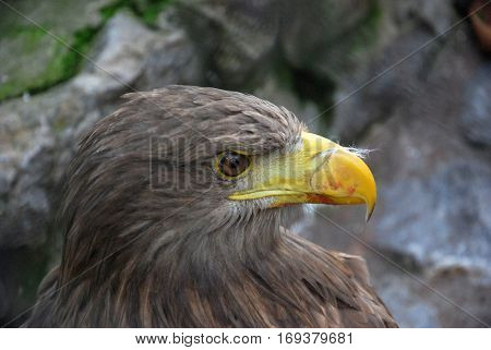 Portrait of a juvenile White-tailed eagle (Haliaeetus albicilla),