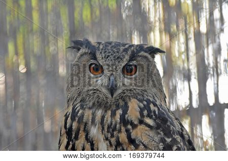 Detail face portrait of bird, big orange eyes and bill, Eagle Owl, Bubo bubo
