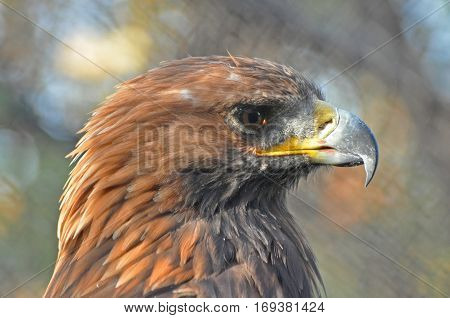 Portrait of Golden Eagle (Aquila chrysaetos), Head of eagle