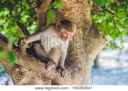 Macaque Monkey Sitting On The Tree. Monkey Island, Vietnam