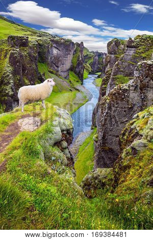The Icelandic Tundra in July. White sheep grazing on the cliff.  Bizarre shape of cliffs surround the stream with glacial water