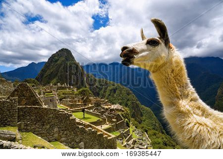 Llama in front of Machu Picchu near Cusco, Peru. Machu Picchu is a Peruvian Historical Sanctuary.