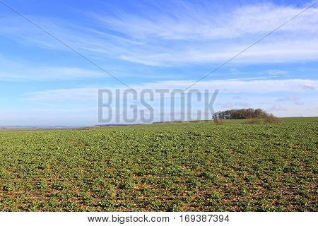 Rapeseed Fields On A Sunny Winter Day