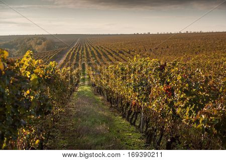 beautiful vineyards in autumn morning at sunrise
