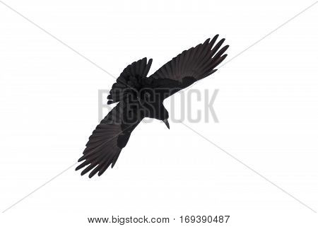 Graceful raven in fly spread it's wings against white background