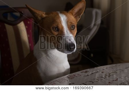 Indoor portrait of basenji dog sitting on a chair near dinner table at night and being sad because of hunger