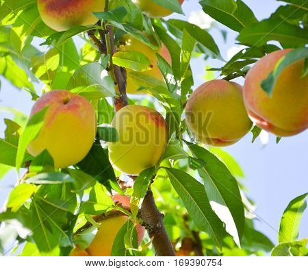 Fresh Peach Tree
