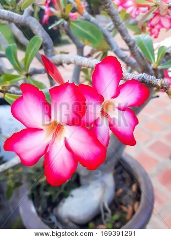 Azalea flowers Red flower simple rhododendron Mountain spring shrub.