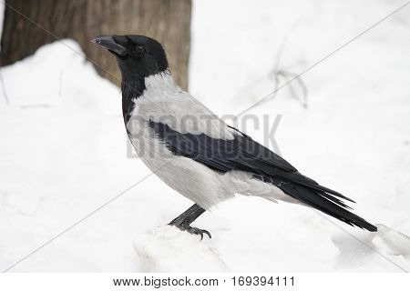 bird hooded crow standing on the white snow