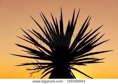 Yucca silhouette in Joshua tree national park at sunset, California