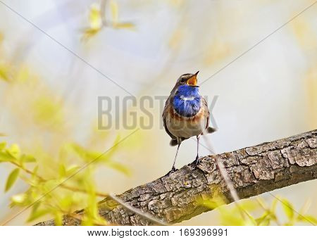 a blue bird sings on a branch on a Sunny spring day