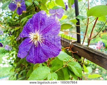 Blooming Clematis in a vertical planting garden. Numerous lilac flowers of Clematis