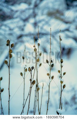 Close up dry plants in winter with blur background
