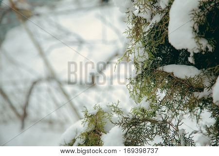 Close up leaves of green thuja tree with snow