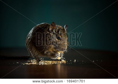 close up, rodent eats on the table