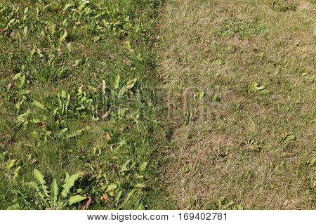 Photo of half mowed dry grass and half uncut grass garden type with dandelion leaves