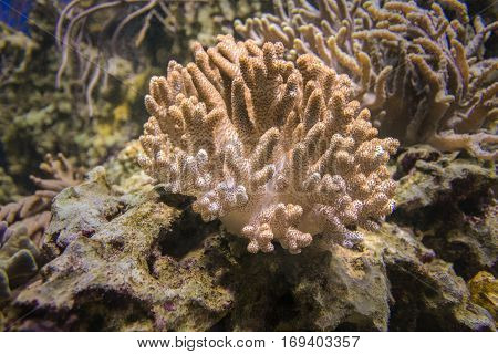 Sinularia coral or finger mushroom - soft coral brown.