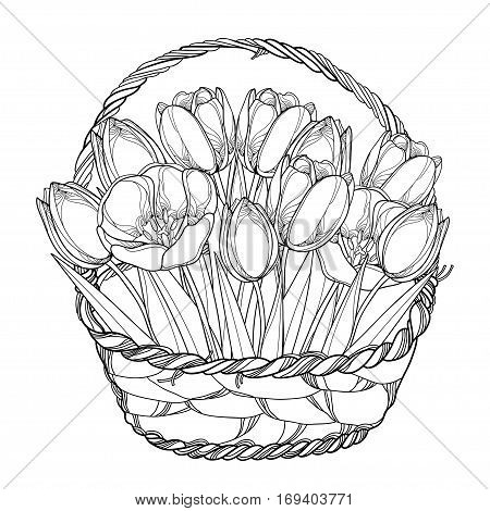 Vector bouquet with outline tulips flowers in the basket isolated on white. Ornate floral elements for spring design, greeting card, invitation, coloring book. Basket of tulip flower in contour style.