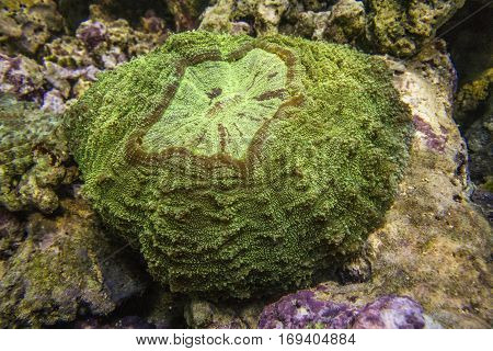 Scolymia coral. Donut Coral. Hard coral. Large polyp.