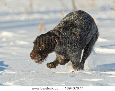 A running hunting dog across a snowy field