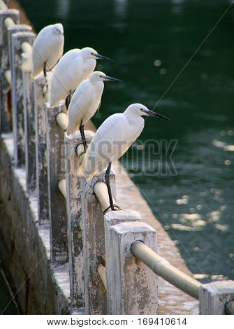 White egrets on the lake shore in Xiamen China