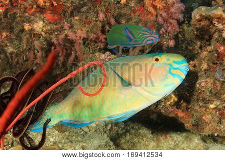 Parrotfish fish