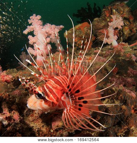 Spotfin Lionfish tropical fish