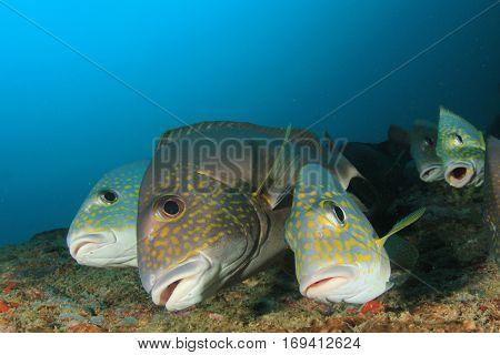 Silver Sweetlips fish