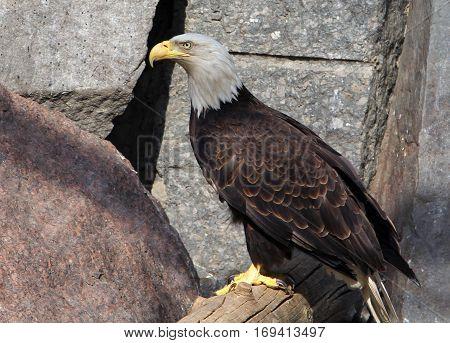 Bald eagle (haliaeetus leucocephalus) closeup portrait b
