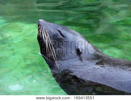 fur seal in water in zoo closeup