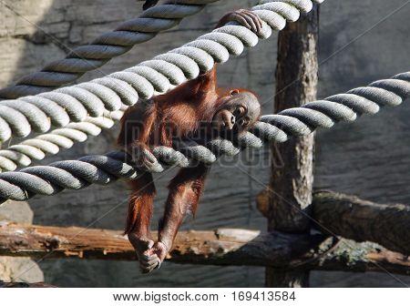 cute baby orangutan resting in aviary in zoo