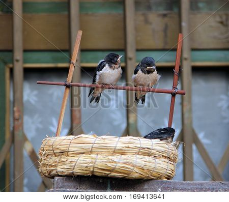baby swallows sitting near the nest on the street