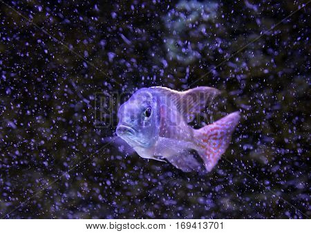 Greenface sandsifter fish (Lethrinops furcifer) swimming among bubbles