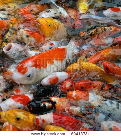 large accumulation of multicolored decorative Koi carps in the pond