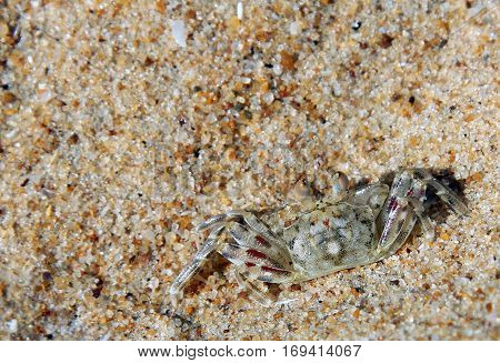 small crab hiding in the sand Indian ocean