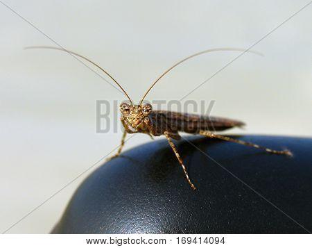 brown mantis looking at the camera gg
