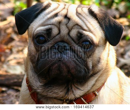 portriet of adult brown pug closeup vv