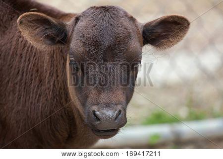 Dahomey dwarf cattle (Bos primigenius taurus). Bull calf.