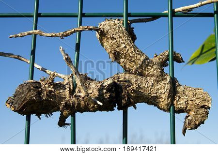 A piece of dead wood of a plant that has grown around and embracing a green metal fence