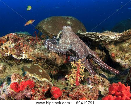 Octopus and reef fish with underwater coral